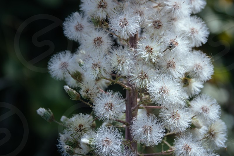 Close up of fluffy wildflower photo
