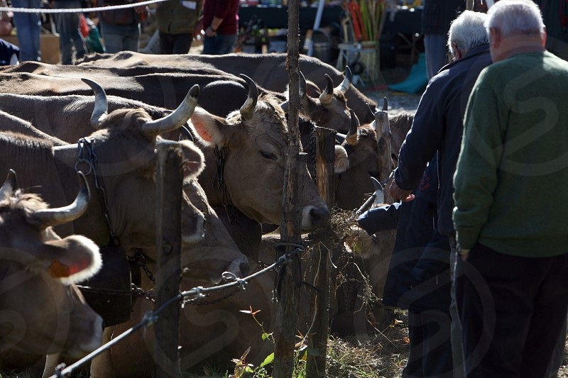 the traditional cow Market in the Farmer Village of Armeno near the Fishingvillage of Orta on the Lake Orta in the Lombardia  in north Italy.  photo