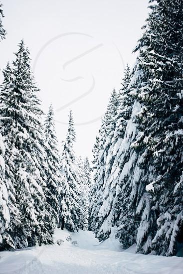 Trees snow winter path Christmas white photo