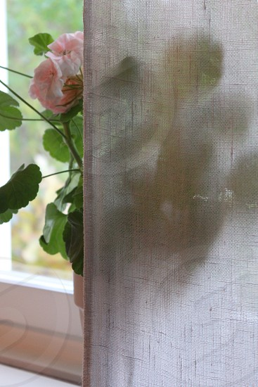 Pelargonia behind white linen curtain photo