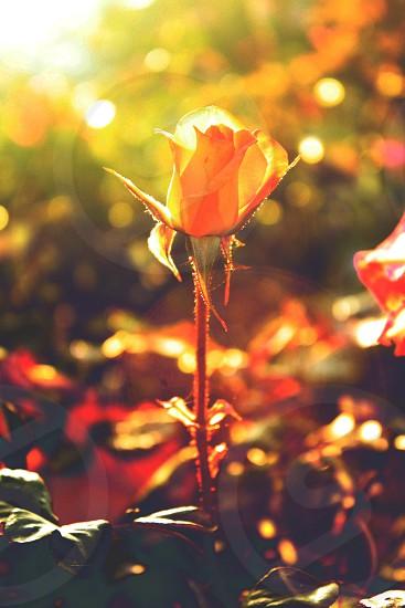 Flower lens flare sunset rose photo