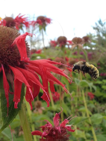 Big fat bumble bee buzzing around some flowers photo