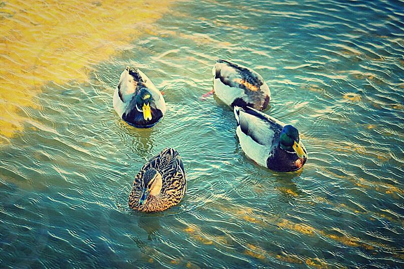 Peyriac de mer Aude France réserve naturelle oiseaux canards colverts étang lagune ornithologie photo