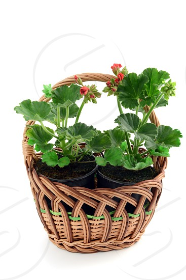 basket with potted geranium. cranes bills.white isolated background photo