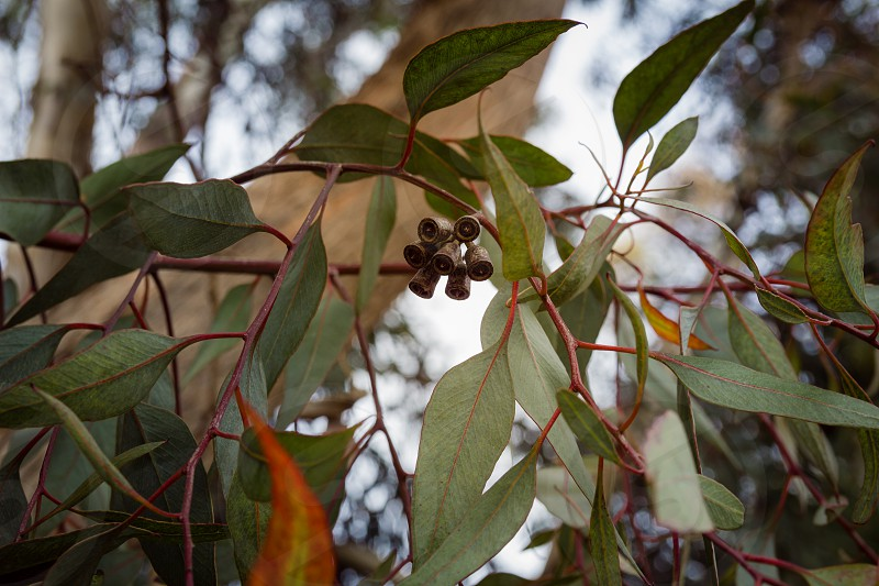 Close up on eucalyptus branch with flower buds photo