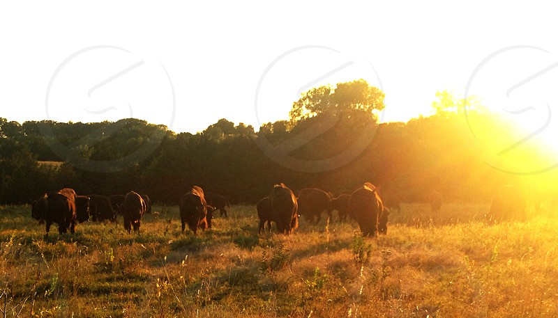 brown four legged animal eating grass under the sun rise photo