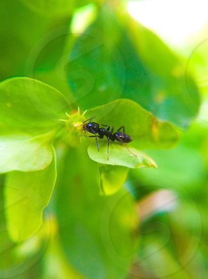black ant on green leaf macro photography photo