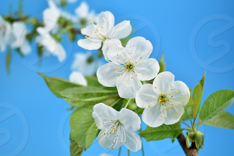 Blooming white cherry tree. Cherry branch on a blue background. Spring floral decoration. Spring background concept. White cherry blossom flowering branche photo