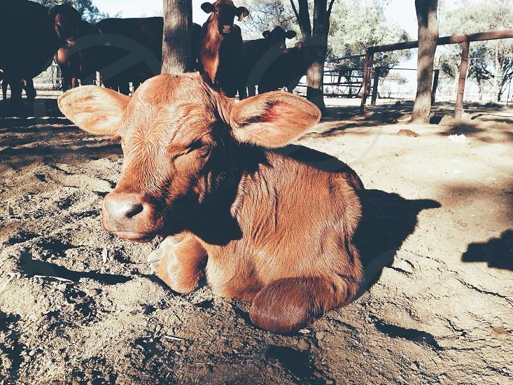 A calf warming itself in the sun  photo