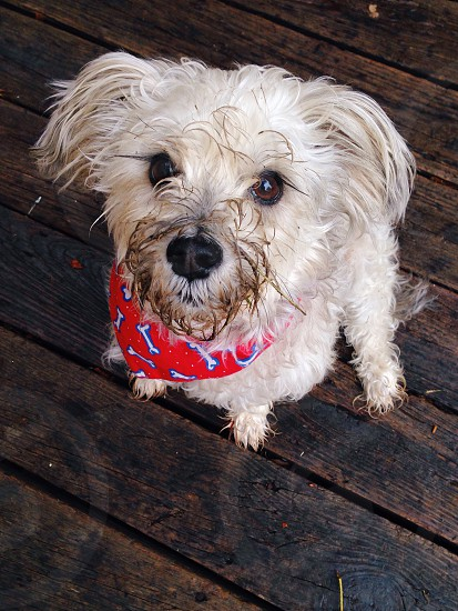 white scruffy small dog with red and white bones print bandana photo
