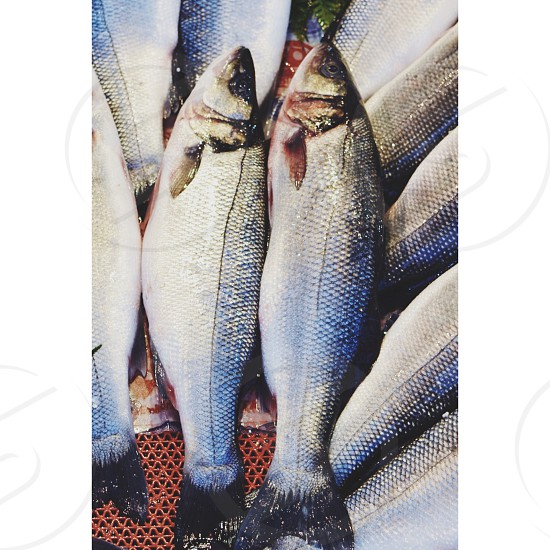 Silver and brown fish photo