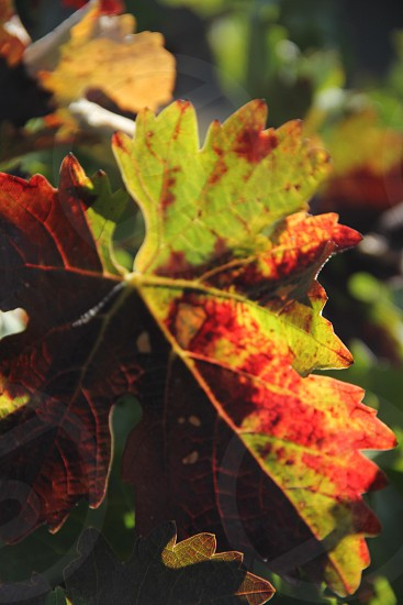 grape grape leaf grape leaves grape vine grape harvest harvest wine wine country wine trail winery autumn red green gold yellow. photo
