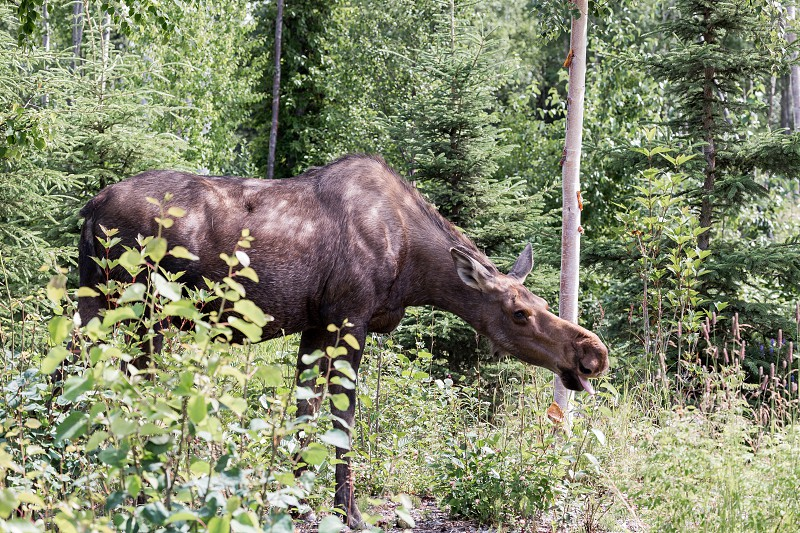 A large moose taking a quick bite to eat photo