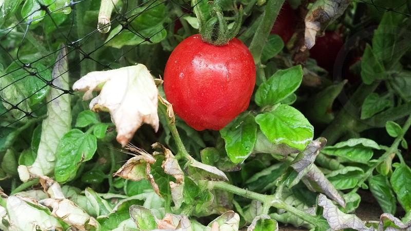 Tomato garden ripe vine leaves fruit food photo