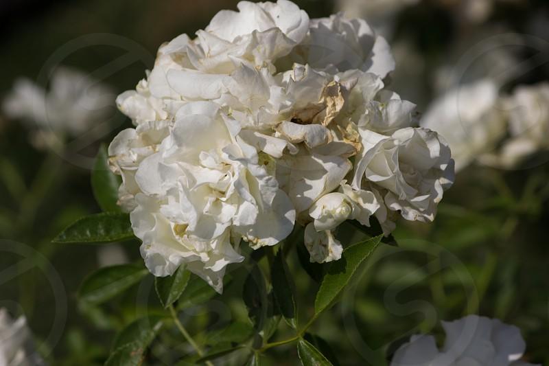 #flowers #white photo