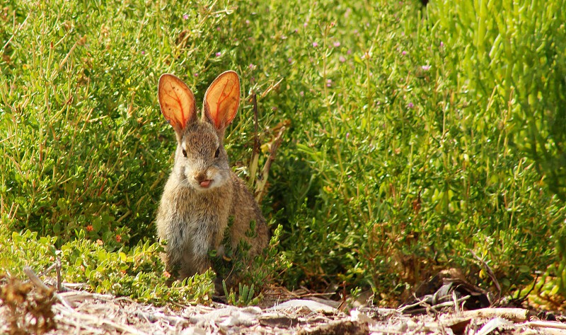 Rabbit bunny funny cute animal wildlife outdoors outside nature tongue goofy photo
