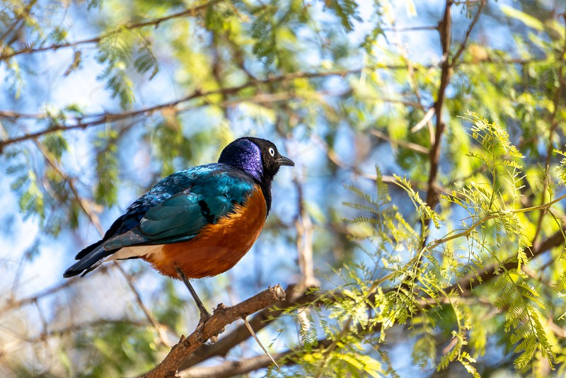 VALENCIA SPAIN - FEBRUARY 26 : Superb Spreo Starling (Lamprotornis superbus) at the Bioparc in Valencia Spain on February 26 2019 photo