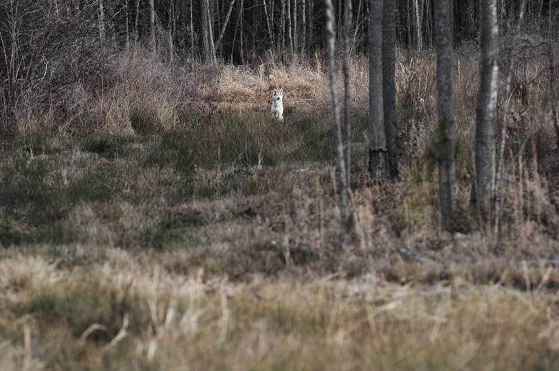 While walking through a woods in McKenzie Tennessee I came upon a clearing. I looked over my left shoulder and a Timber Wolf was there scouting the area. He turned to me and sat down just watching me as I watched him. We just sat there for about 15 minutes before he turned and disappeared into the woods again. I can't explain how that moment felt other than calming.  photo
