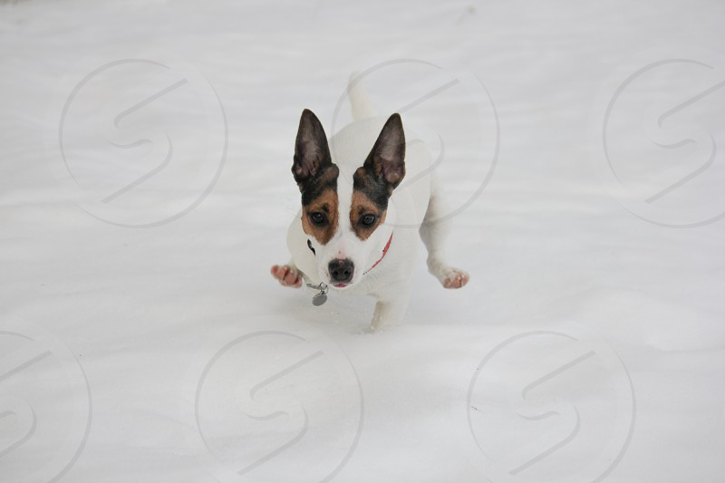 Jack Russell Terrier dog running in the snow towards the camera. photo