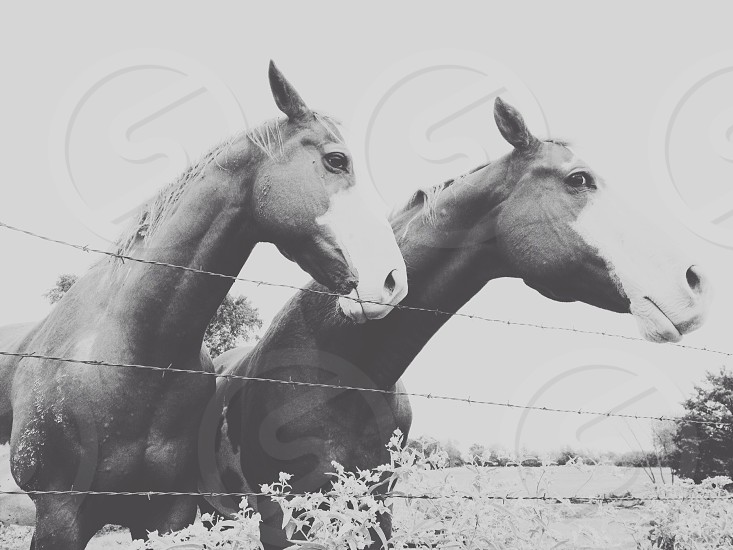2 black and white horse photo