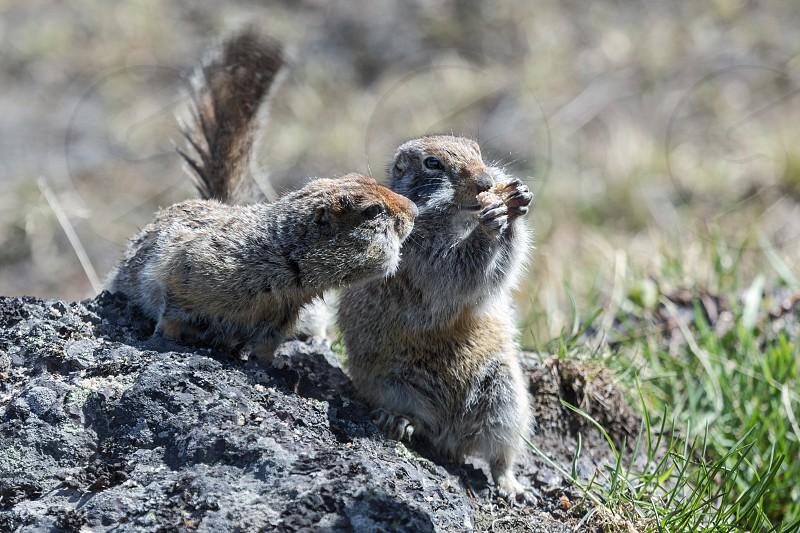 Wildlife: two cute ground squirrel. Russia Kamchatka Peninsula. photo