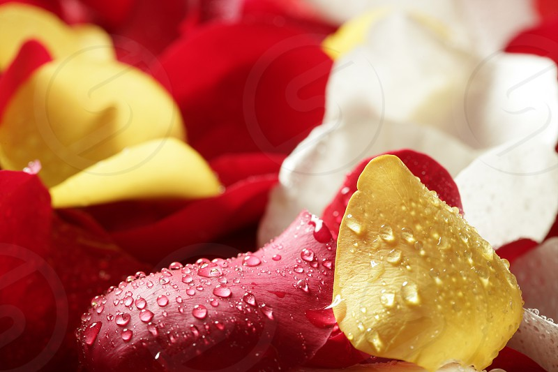 Colorful rose petal pattern wallpaper background texture photo