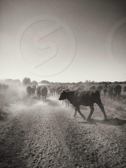 Cattle walking down a road in Australia photo
