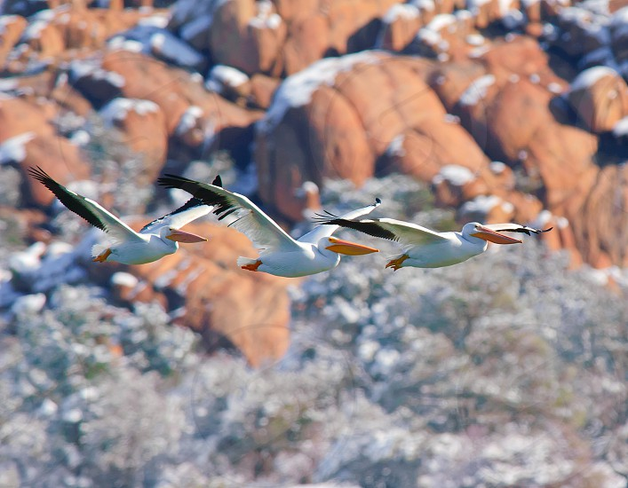 A group of 3 Pelicans flying together over Watson Lake near Prescott Arizona. photo