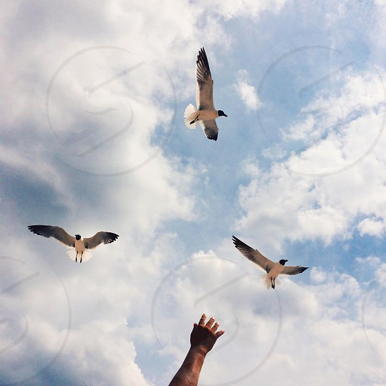 three birds flying up the sky with white clouds photo