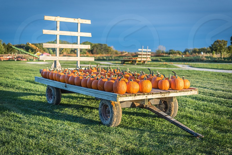 Cart with pumpkins in a field. photo