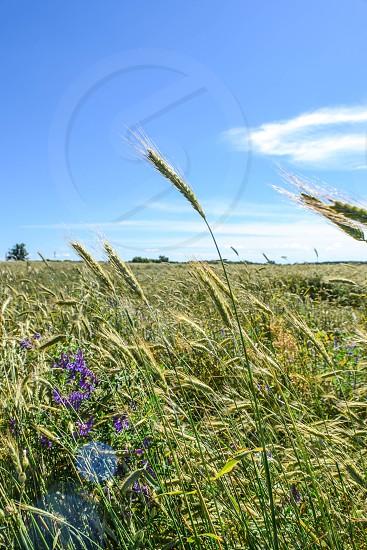 Wheat blowing in the wind sun shining blue skies purple flowers photo