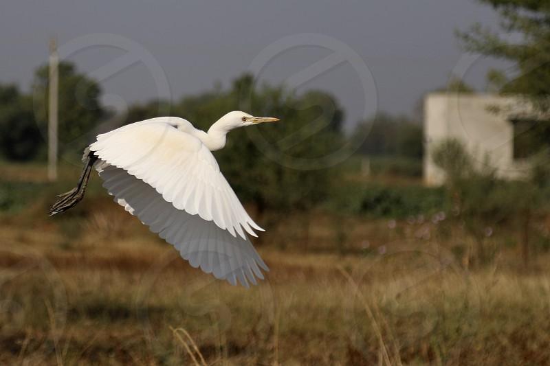 a flying white crane photo