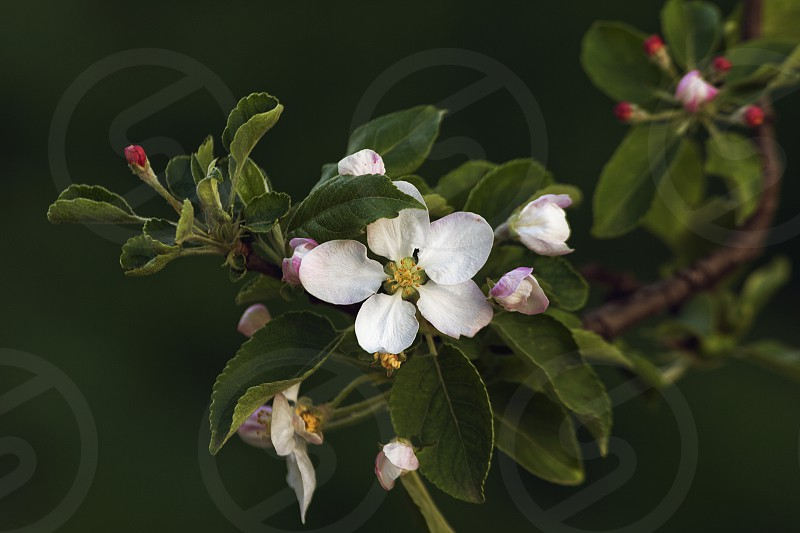 Branch of Apple Blossom photo