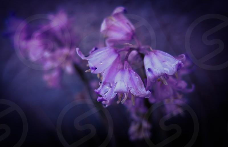 Bluebell photo