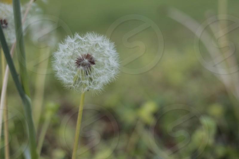 white dandelion selective focus photography photo