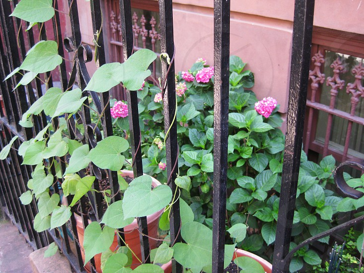 green vein plant with pink flower near grills  photo