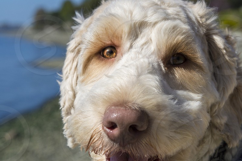 Doodle dog close up face photo