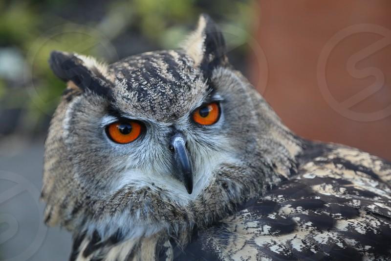 Owl close up orange eyes bird of prey photo