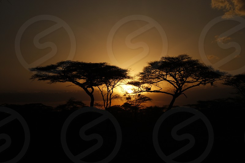 silhouette of two tall trees under sunset photo