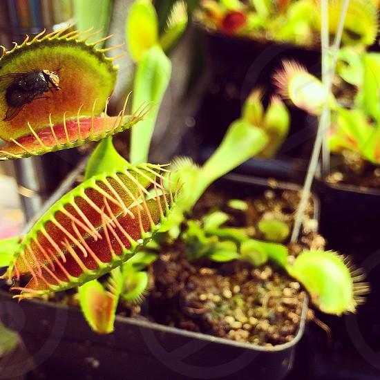 venus flytrap plant on black flower pot during daytime photo