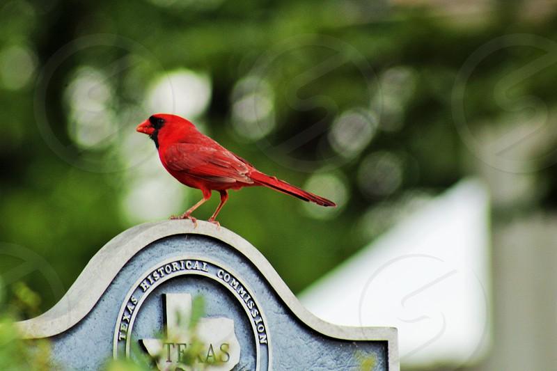 cardinal bird texas green tree photo