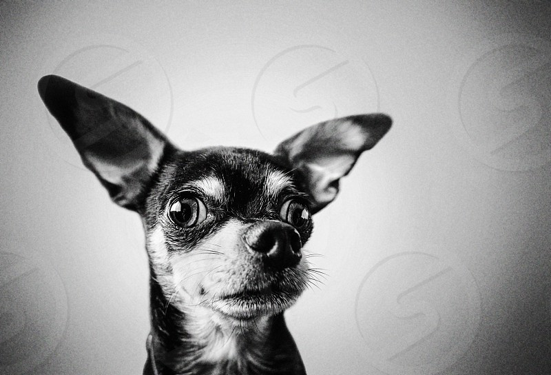 dog canine chihuahua black and white alert funny emotion bw high iso film grain cute emotion photo