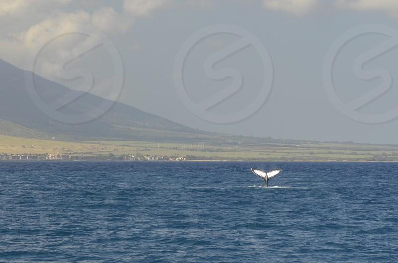 Maui Hawaii whale watching whales photo