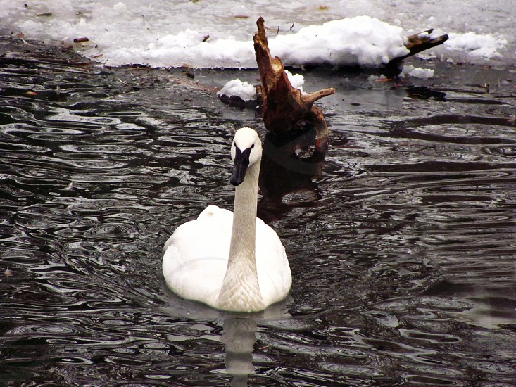 swan birds lake winter photo