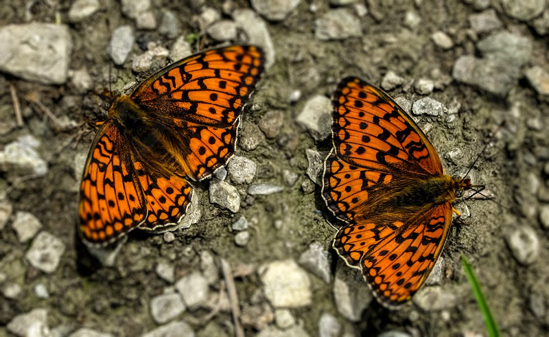 Butterflies - Apuseni Mountains Romania 1000m photo