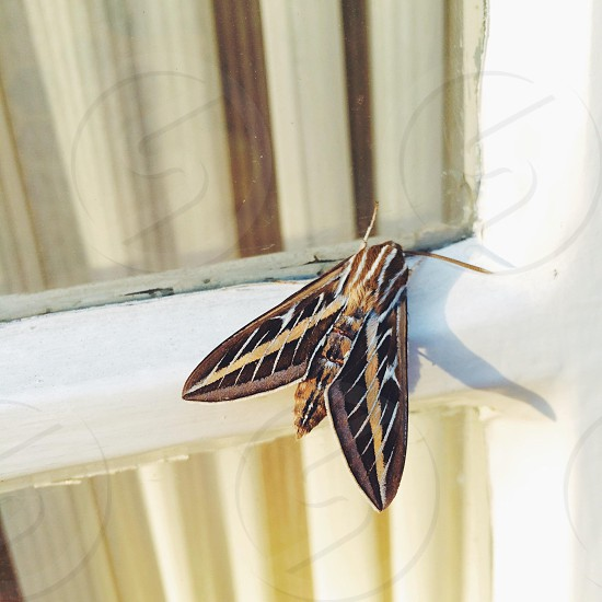 black and brown moth photo