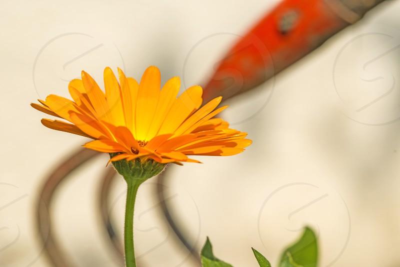calendula flower with rake photo