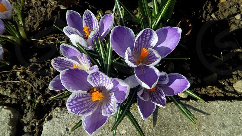 spring crocus photo