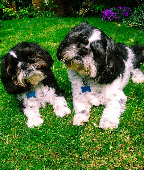 black and white shih tzus resting on green grass photo