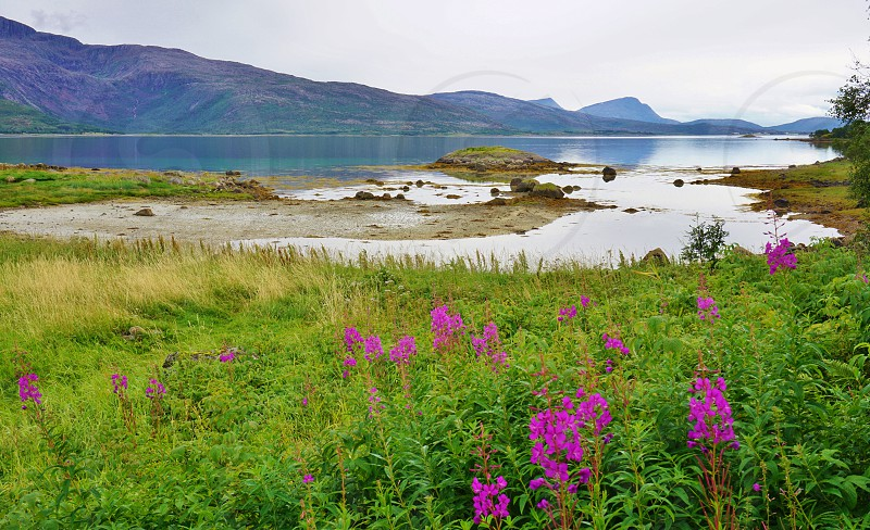 Spring flowers in the Lofoten Islands in Norway photo